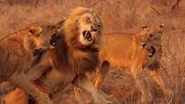 Şaka değil gerçek: Tuvaletini yaparken aslanlara yem oldu !