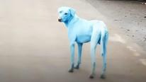 Mavi köpek şoku ! Halk panik içinde...