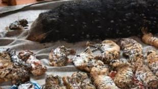 Tapınaktan 40 ölü kaplan yavrusu çıktı !