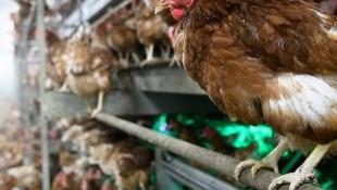 Tehlike kapımıza dayandı! Bulgaristan'da kuş gribi alarmı