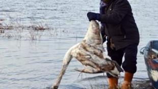 Samsun'da kanatlı hayvan ölümleri