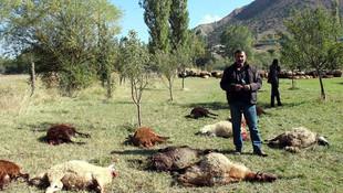 Çobanın uykusu pahalıya patladı !