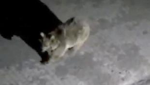 Yiyecek arayan boz ayı yurt kapısına dayandı !