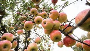 Korkutan araştırma: Elmayı yıkasanız bile nafile !