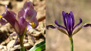 Hakkari'de iki yeni bitki keşfedildi