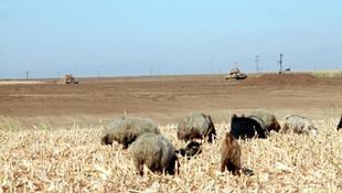 Habur'da tanklar manevra yaptı, çobanlar koyun otlattı