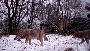 Çernobil'in radyoaktif kurtları