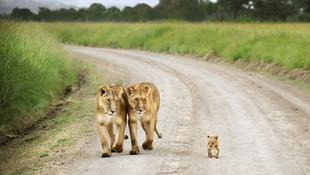 Aslanların uçsuz bucaksız diyarı