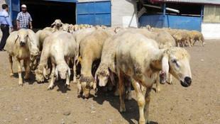 Kurban Bayramında koyun kurban edin çağrısı