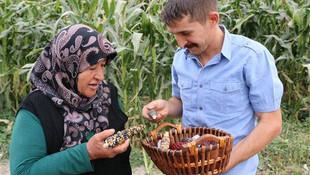 ABD'den getirdiği tohumlarla rengarenk mısır üretti