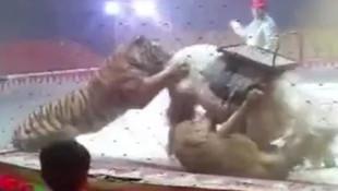 Sirkte korkunç olay ! Aslan kaplan ata saldırdı