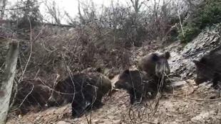 İstanbul'da domuz sürüsü korkuttu !