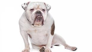 Kendi köpeği testislerini ve penisini yedi !