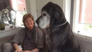 Dünyanın en büyük evcil köpek ırkı: Danualar