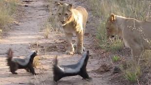 Aslanlara kafa tutan bal porsukları olay oldu