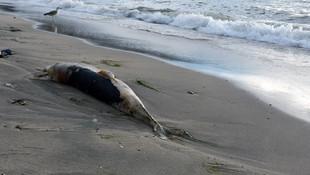 Sahile vuran yunusların sayısı arttı