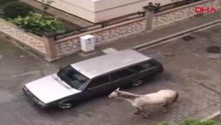 Atı aracına bağlayıp koşturdu