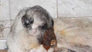 Sokak köpeğine kezzaplı işkence