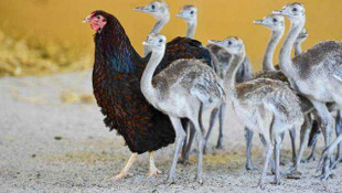 Her canlıya annelik yapabilen tavuklar