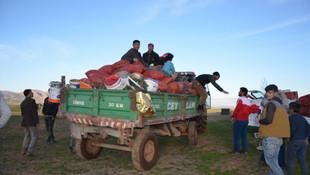 Köylülerin geçim kaynağı: Gülbahar bitkisi