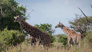 Zürafaların nesli tükeniyor !