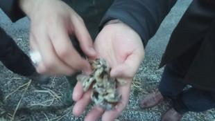 Aygır Gölü'nde zebra midye istilası !