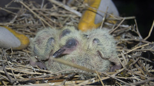 Enkaz altındaki kuşları köylüler kurtardı