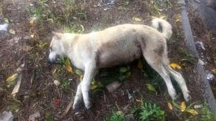Isparta'da köpek katliamı !