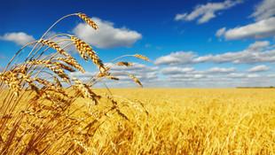 Dünyaya yetecek sadece 26 günlük buğday kaldı
