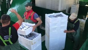 Karadeniz'de palamut bolluğu ! İki günde 70 ton...
