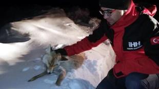 Soğuktan donmuş tilki bulundu