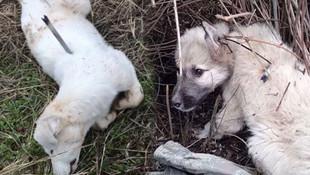 Köpekler böyle ölüme terkedildi