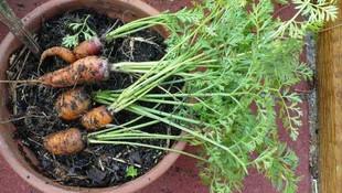 Saksıda yetişebilecek 12 sebze