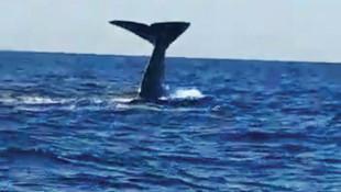 Çeşme açıklarında balina şaşkınlığı