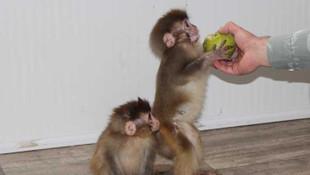 Sınır kapısındaki maymunlar koruma altında