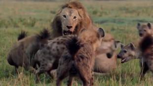 Sırtlanların arasında tek başına kalan aslanın mucize kurtuluşu