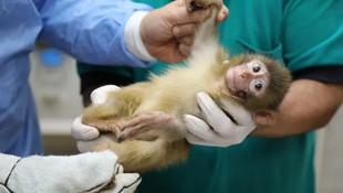 Bu maymun yavrularının ismini vatandaş belirleyecek