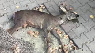 Avlanması yasak olan karacayı öldürdüler