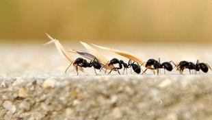 Trafik sıkışıklığını karıncalar çözecek