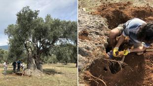3 bin yıllık ağacın sırrını nükleer fizikçiler çözdü
