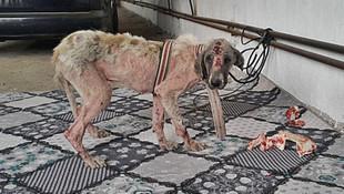 Köpeğe işkence vahşetinde 3 kişi açığa alındı ! İşte o köpeğin son hali