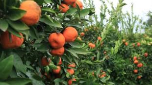 LÖSEV tarım ilaçsız doğal mandalina üretti