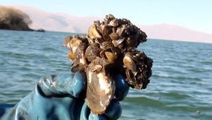 Çıldır Gölü'nde ''zebra midye'' tehlikesi