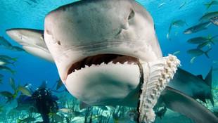 Kaybolan turistin eli köpekbalığının midesinden çıktı