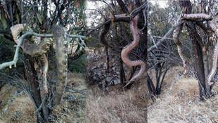 Burası Türkiye! Dev yılan efsanesi gerçek çıktı! Öldürüp ağaca astılar