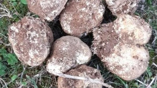 5 kilogram trüf mantarı topladı zengin oldu