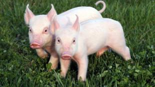 Bu davada ''domuzlar da davacı''