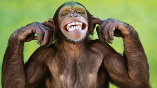 Şempanzelerle ilgili ezber bozacak araştırma
