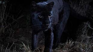 Bir asır sonra siyah leopar görüntülendi