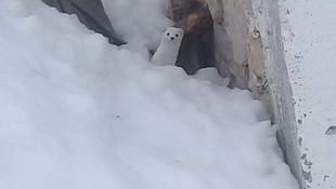 Nesli tükenme tehlikesindeki o canlı Tunceli'de görüntülendi